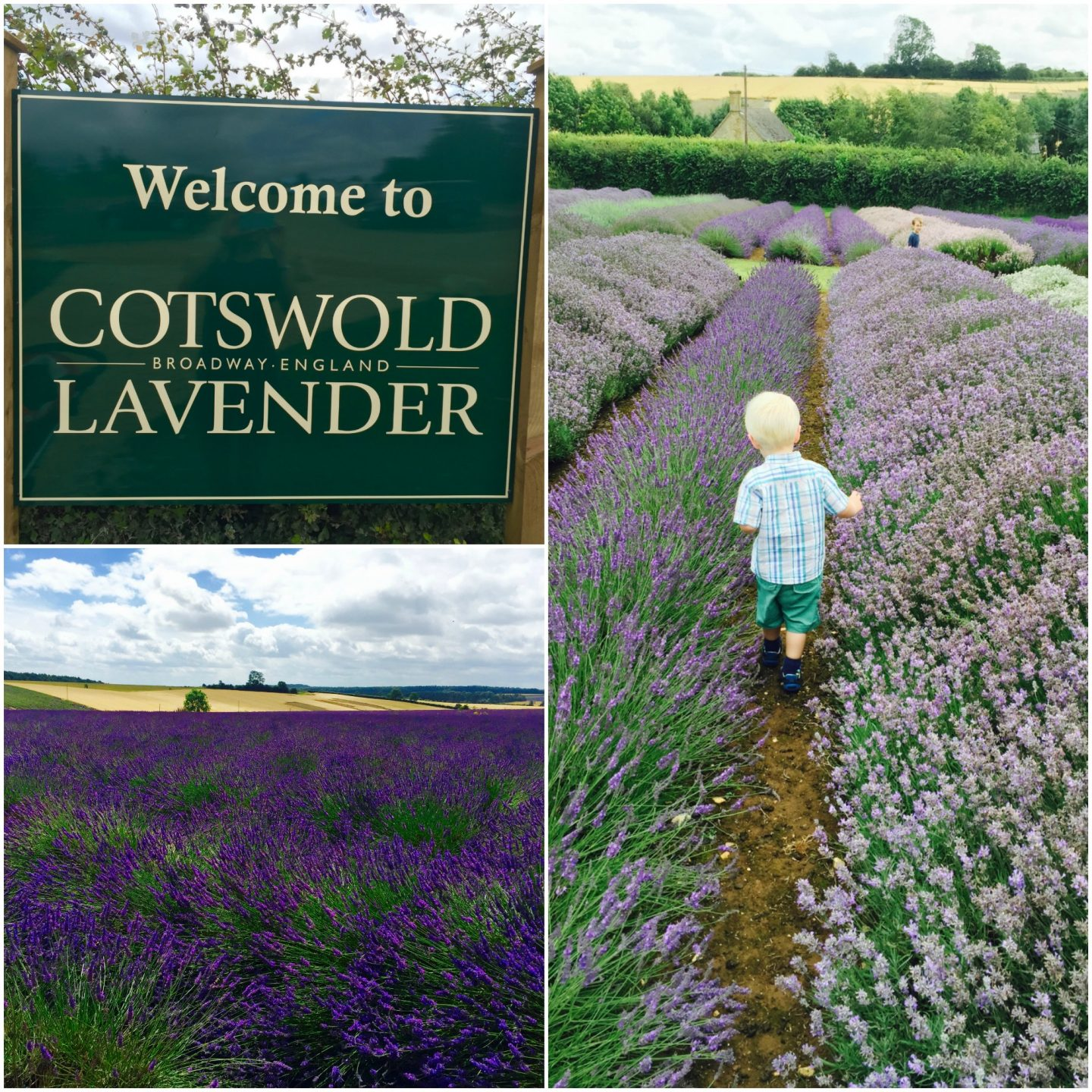 Cotswolds Lavender fields