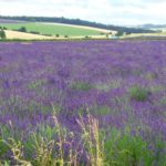 Last chance to head to the lavender fields!