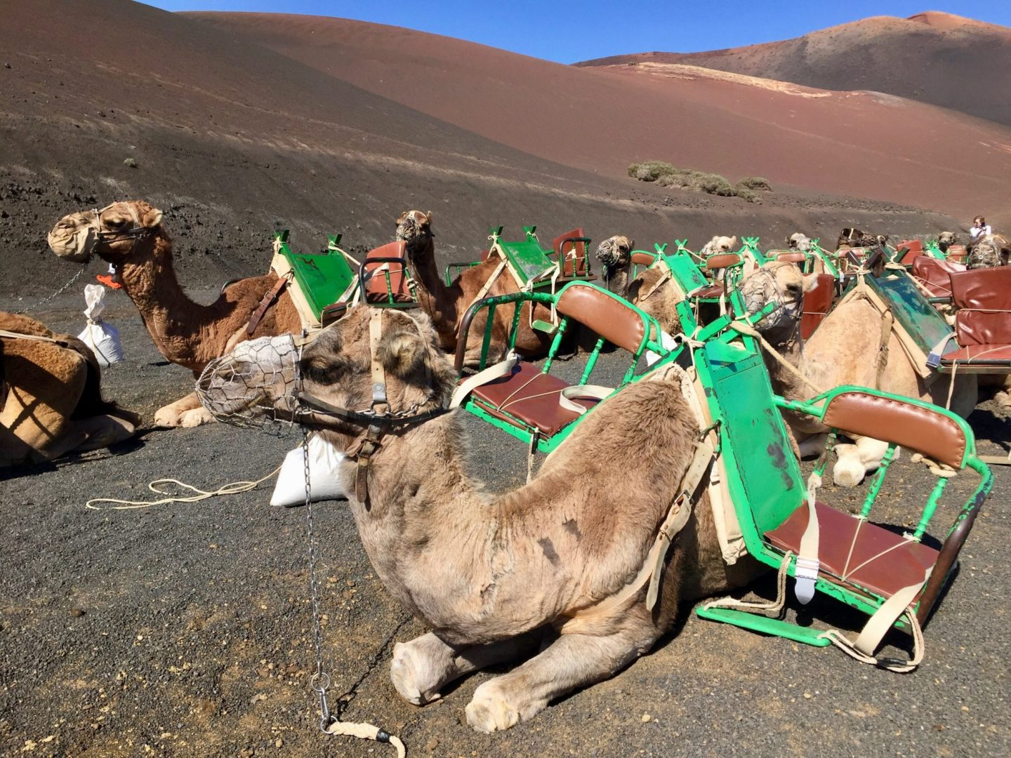 What to do in Lanzarote with kids - camel rides