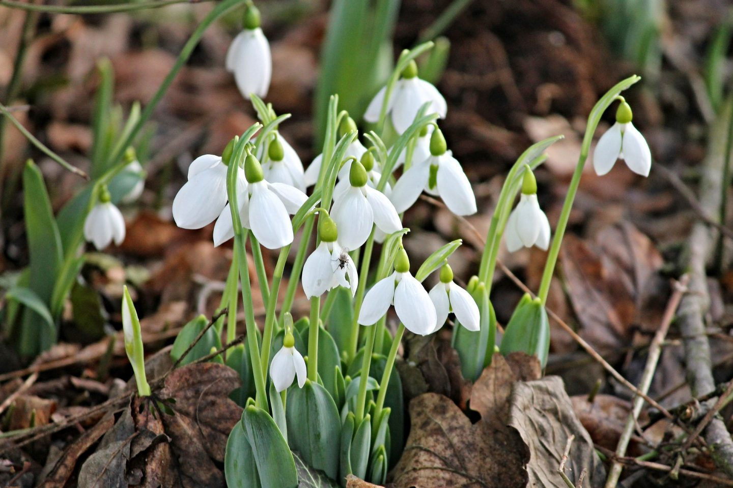 best places to see snowdrops Gloucestershire